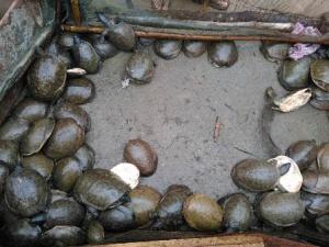 turtles in Malkangiri
