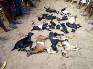 goat death