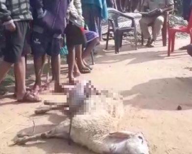 sheep killing